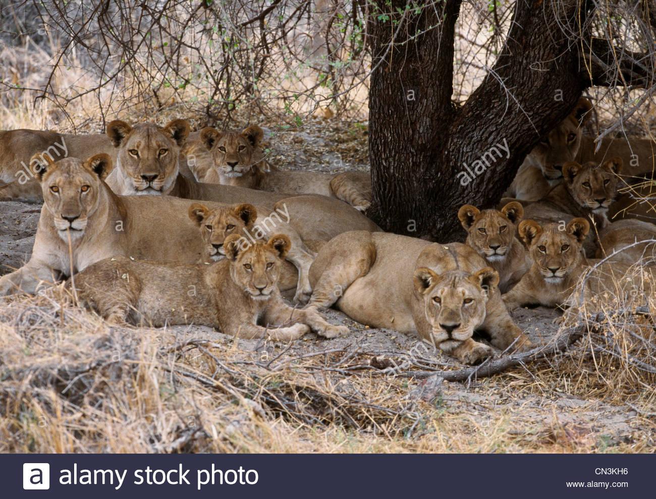 African lions, Okavango Delta, Botswana - Stock Image