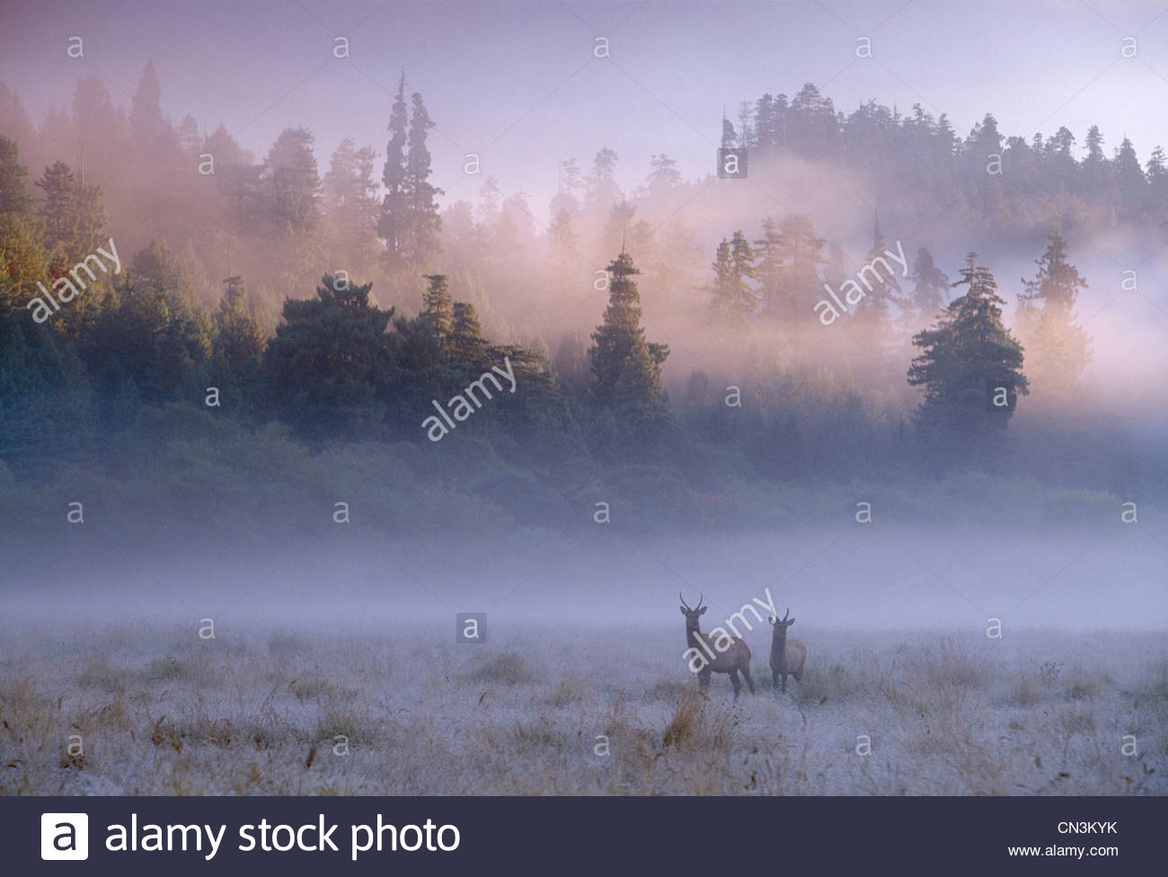 A pair of Roosevelt Elk bulls stand in a misty field in Redwoods National Park, California - Stock Image