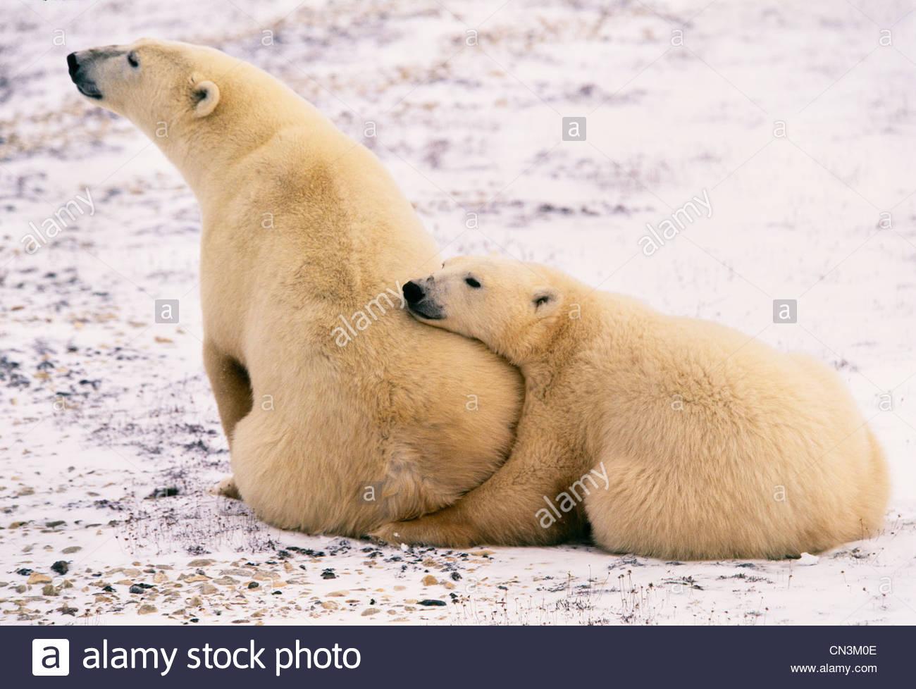 Polar bear and second year cub, Churchill, Manitoba, Canada - Stock Image