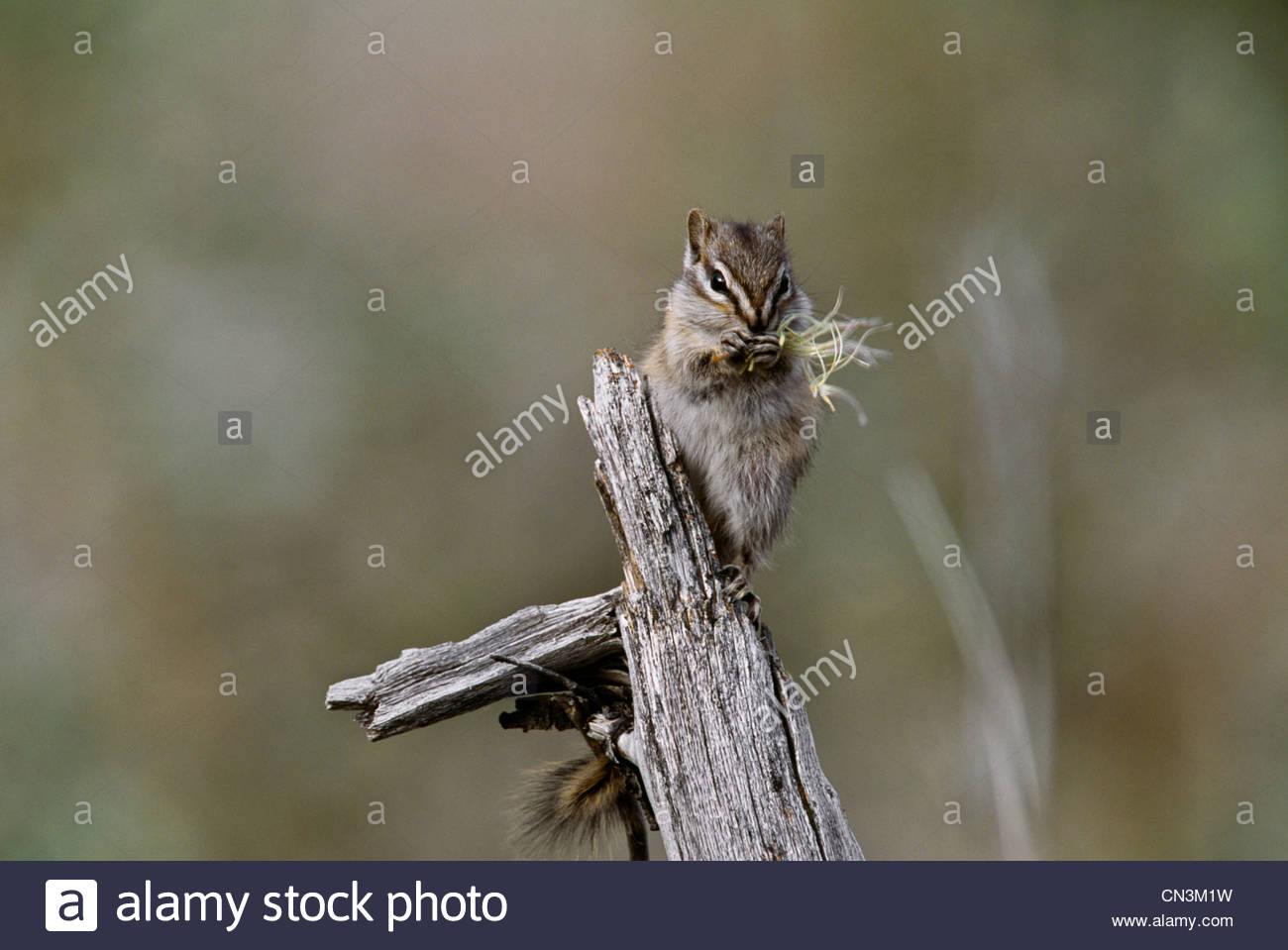 Least chipmunk feeds on grass seeds, Ravensthroat River, Northwest Territories, Canada - Stock Image