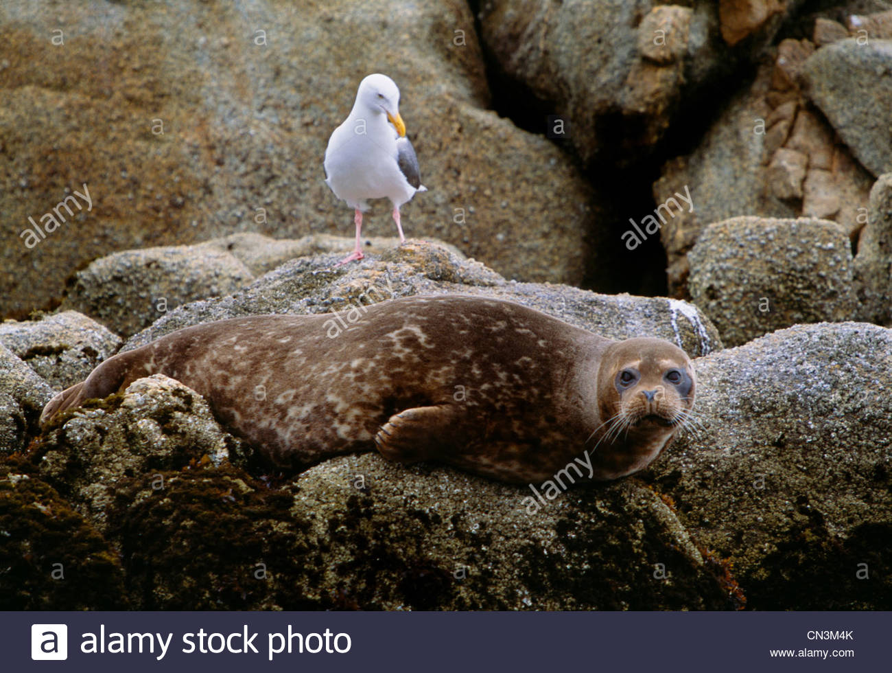 Harbor seal and gull, Monterey Bay, California - Stock Image