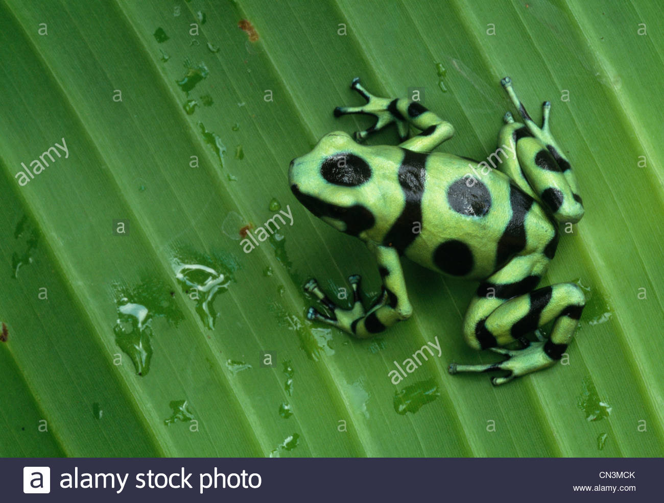reen and Black Poison Arrow Frog sits on a leaf, Panama. - Stock Image
