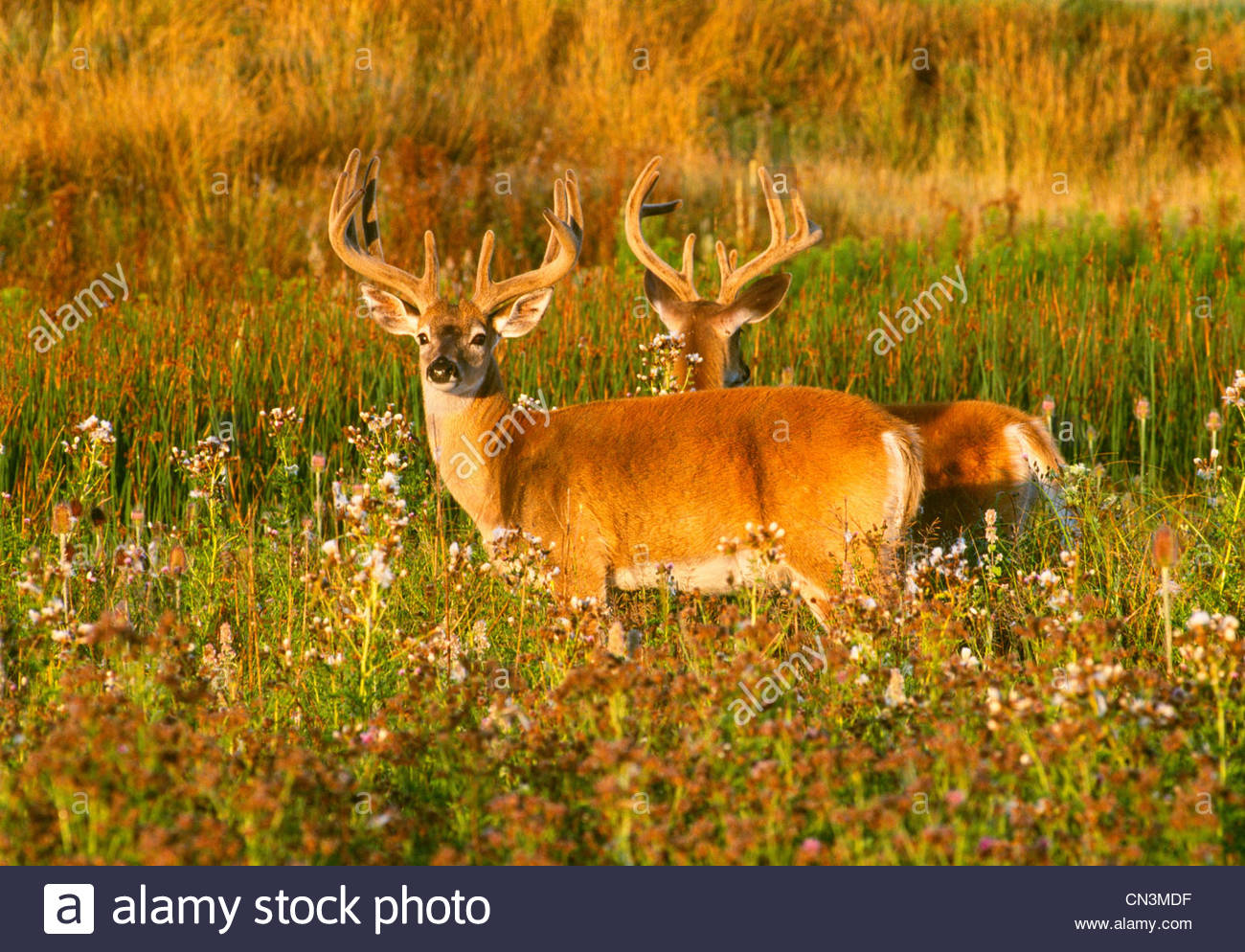 White-tailed deer, National Bison Range, Montana - Stock Image