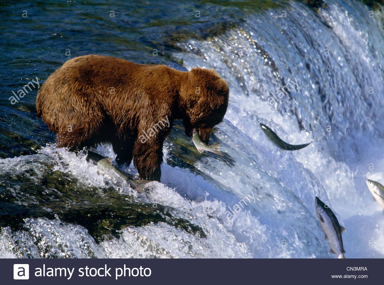 Brown bear catching salmon at Brooks Falls, Katmai National Park, Alaska - Stock Image