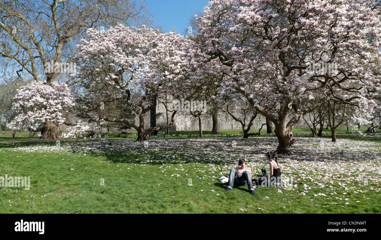 Blooming Magnolia Trees Stock Photos & Blooming Magnolia Trees Stock ...