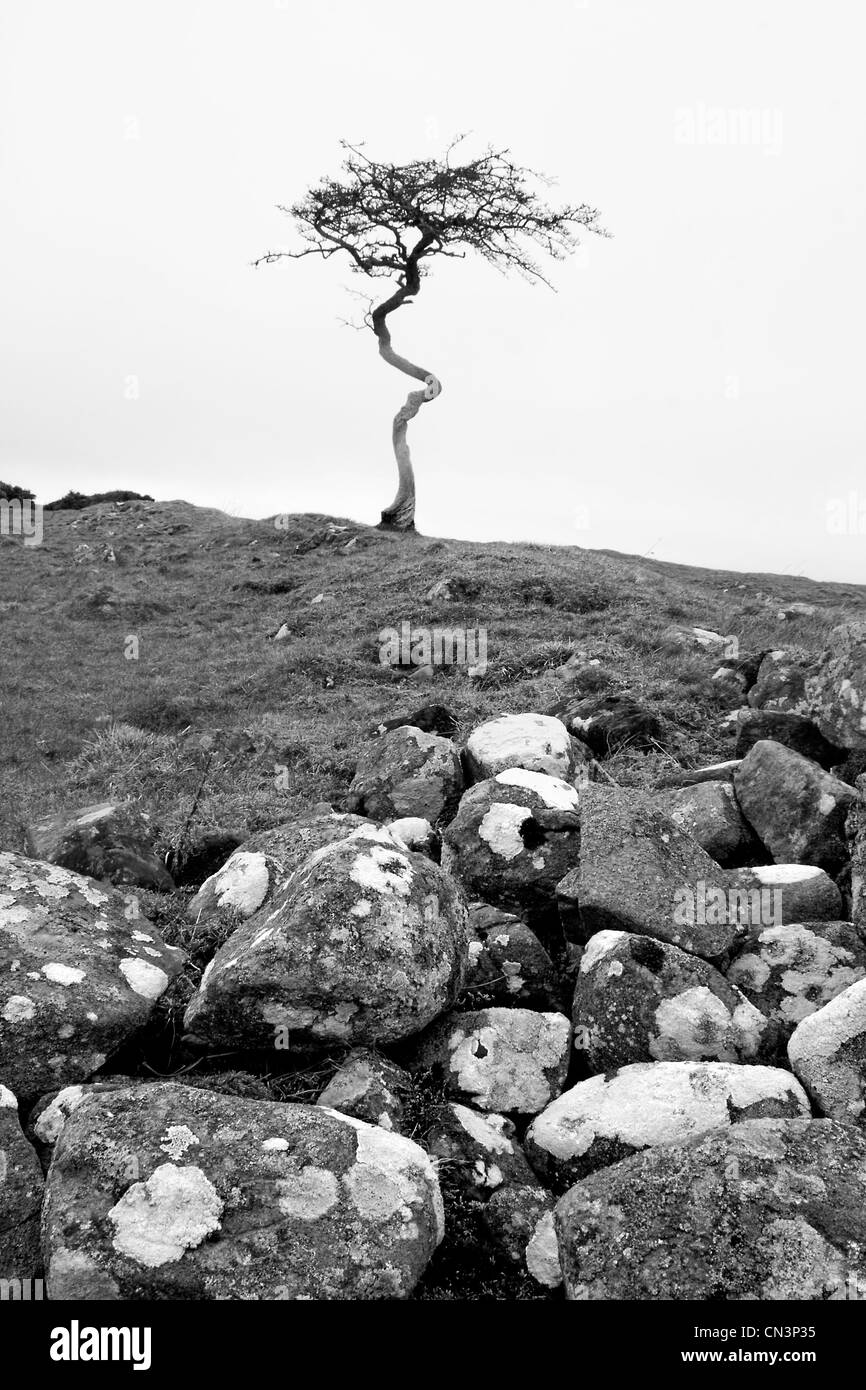 Crooked tree on Hadrian's Wall - Stock Image