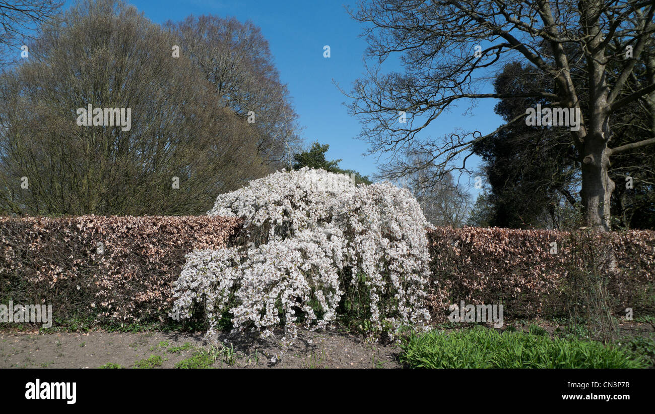 Trees blossoming in a hedge in unseasonably warm dry spring in Bute Park, Cardiff, Wales UK 2012 KATHY DEWITT - Stock Image