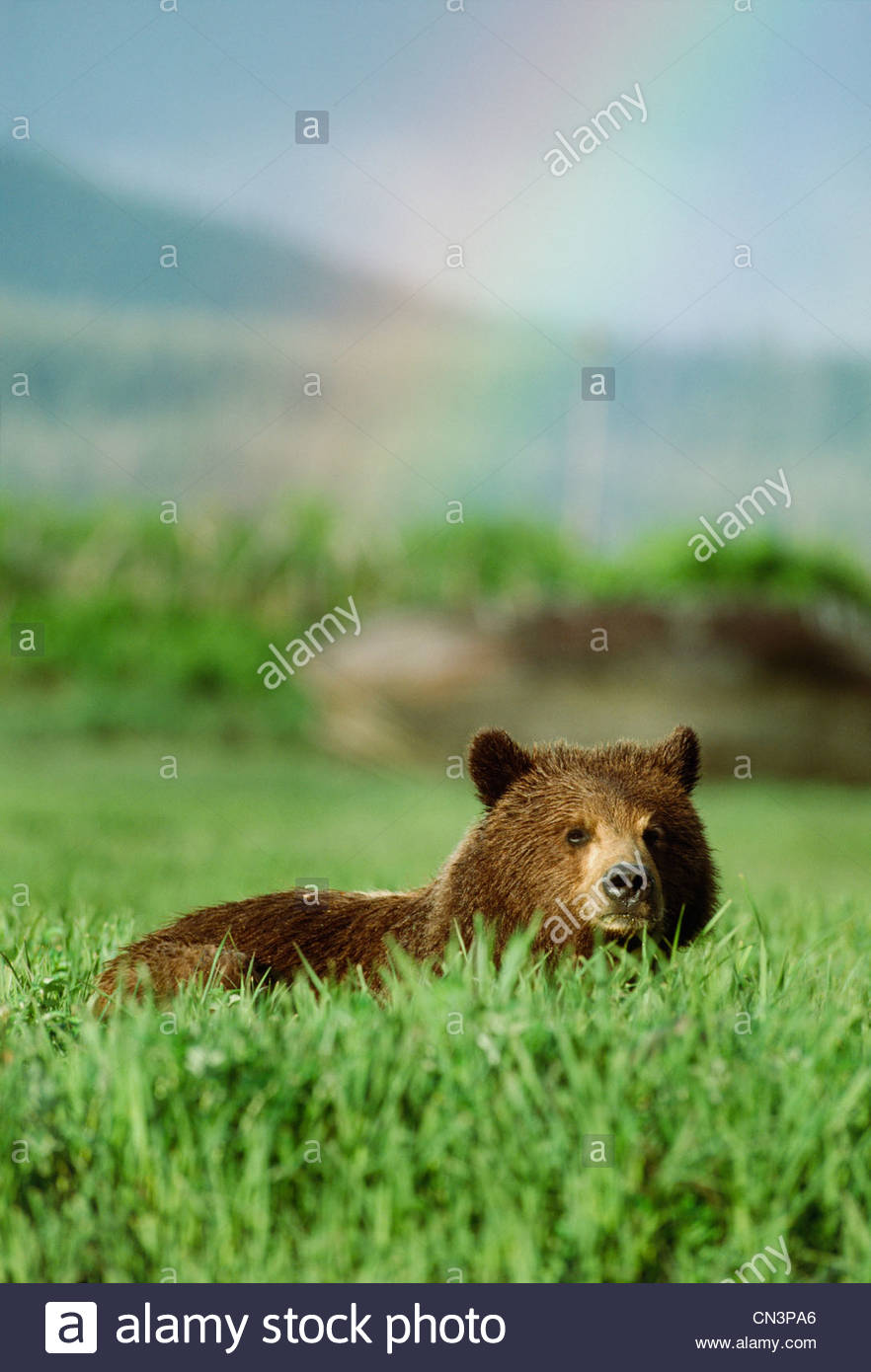 A brown bear in field of tall grass with a rainbow in the background, Alaska, USA - Stock Image