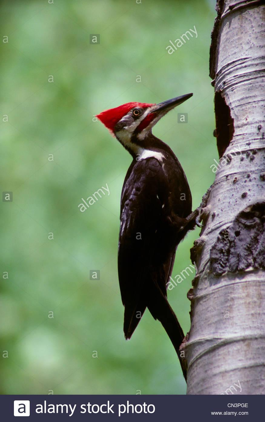 Pileated woodpecker, Idaho - Stock Image