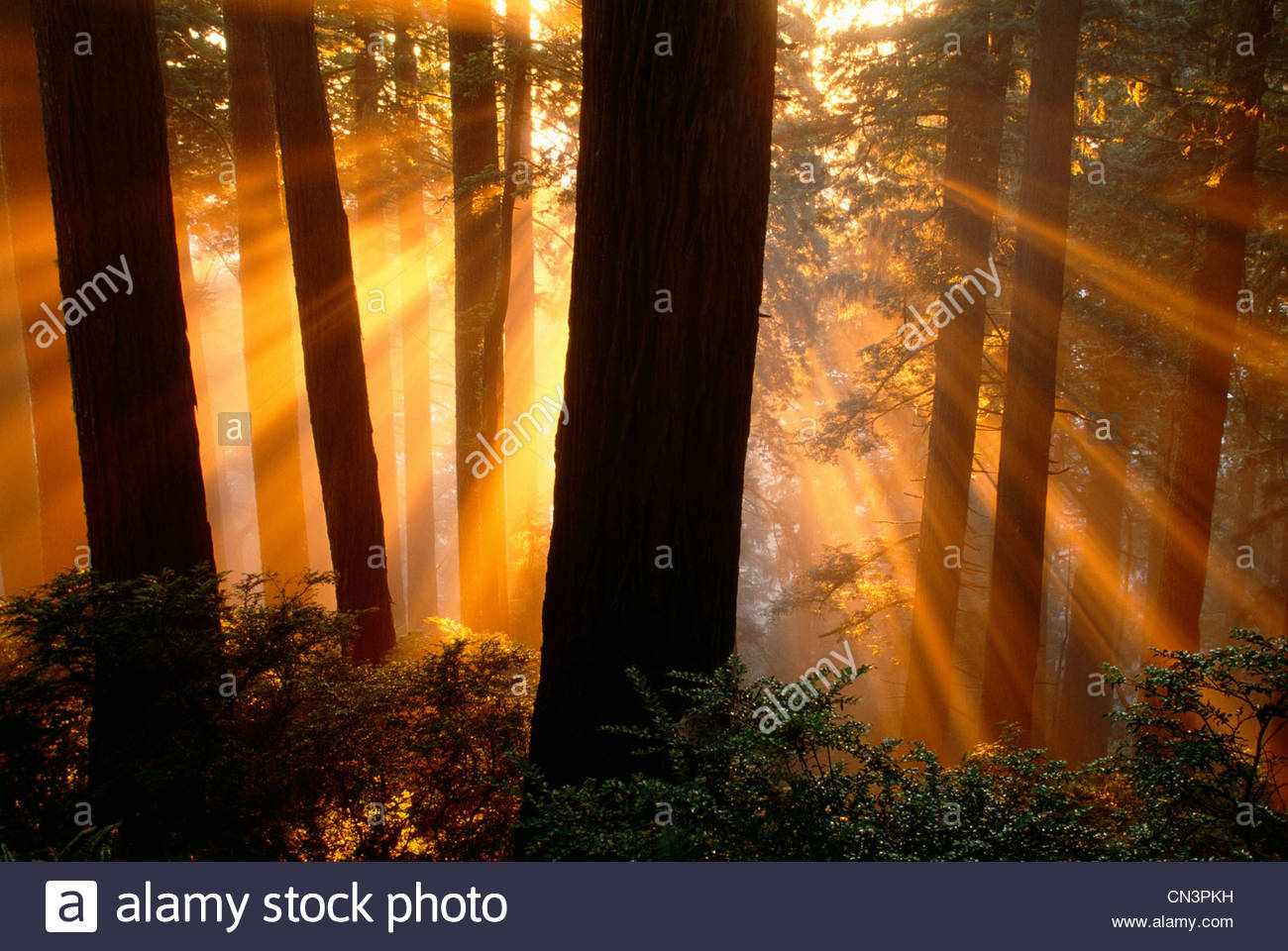 Sun rays in Redwood National Park, California - Stock Image
