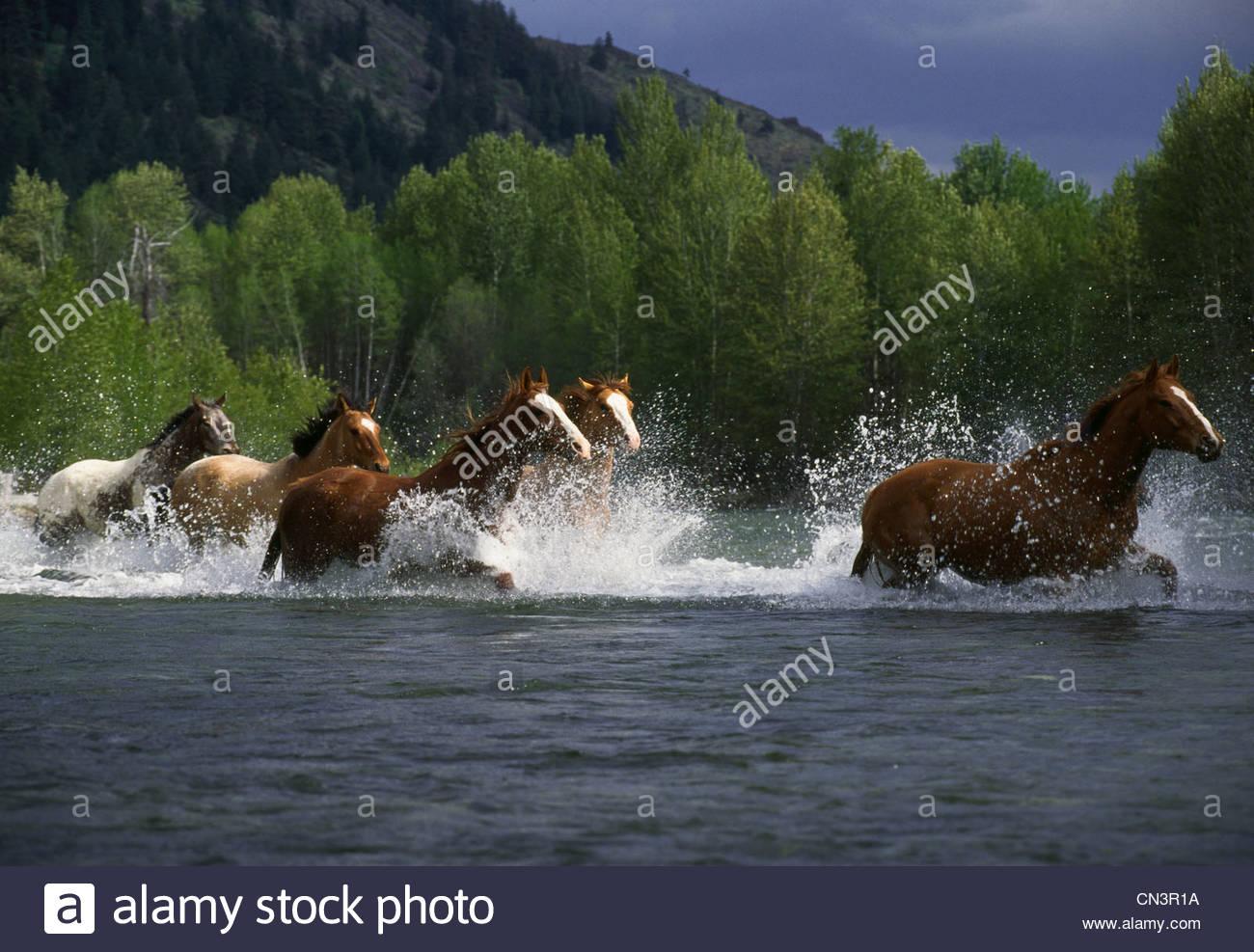 Horses running through a river in Washington - Stock Image