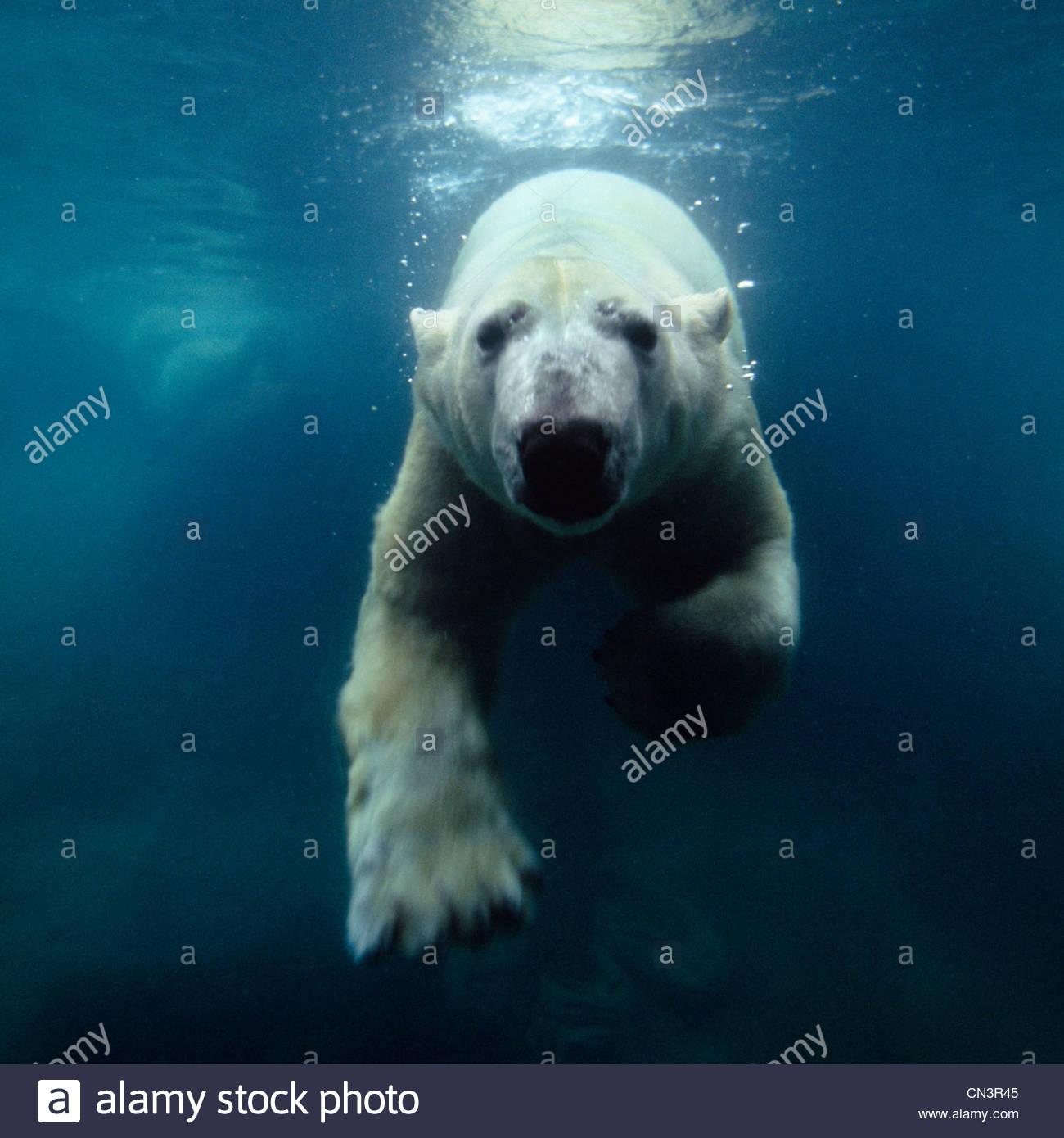 Swimming polar bear, North America - Stock Image
