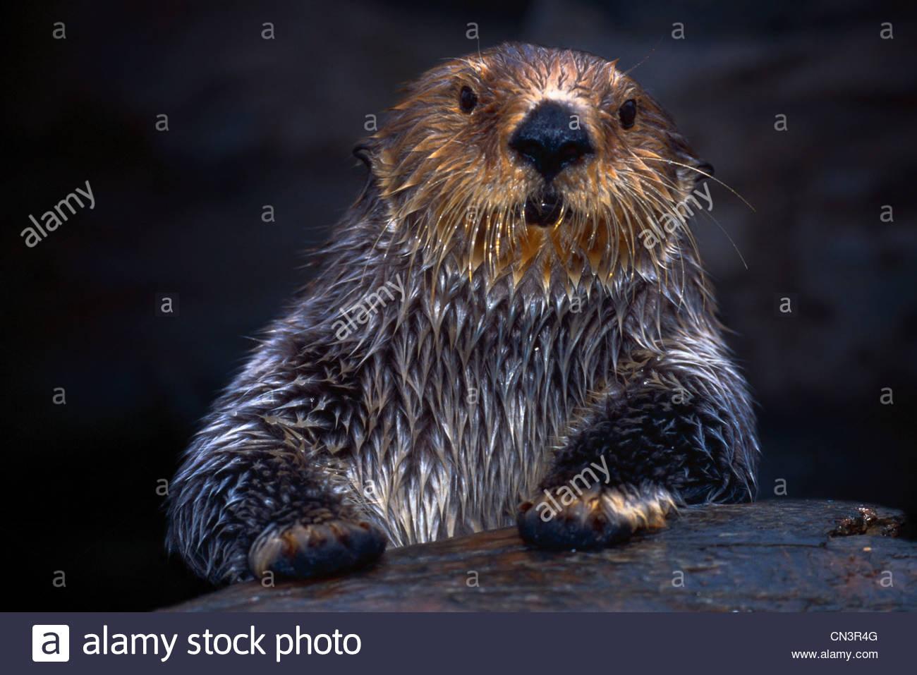 Sea Otter, Seattle, Washington - Stock Image