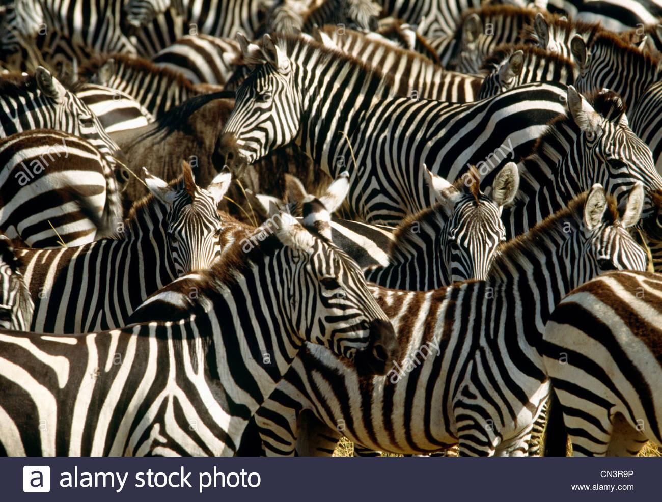 Grant's zebra mass migration, Masai Mara National Reserve, Kenya - Stock Image