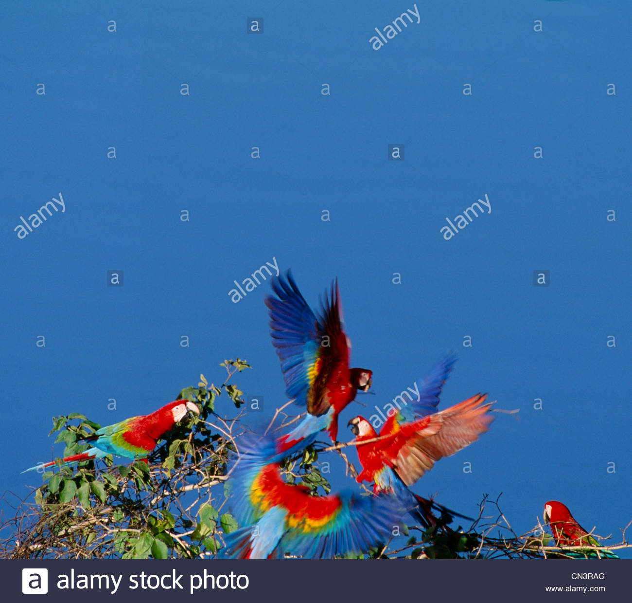 Scarlet and green-winged macaws, Peru - Stock Image