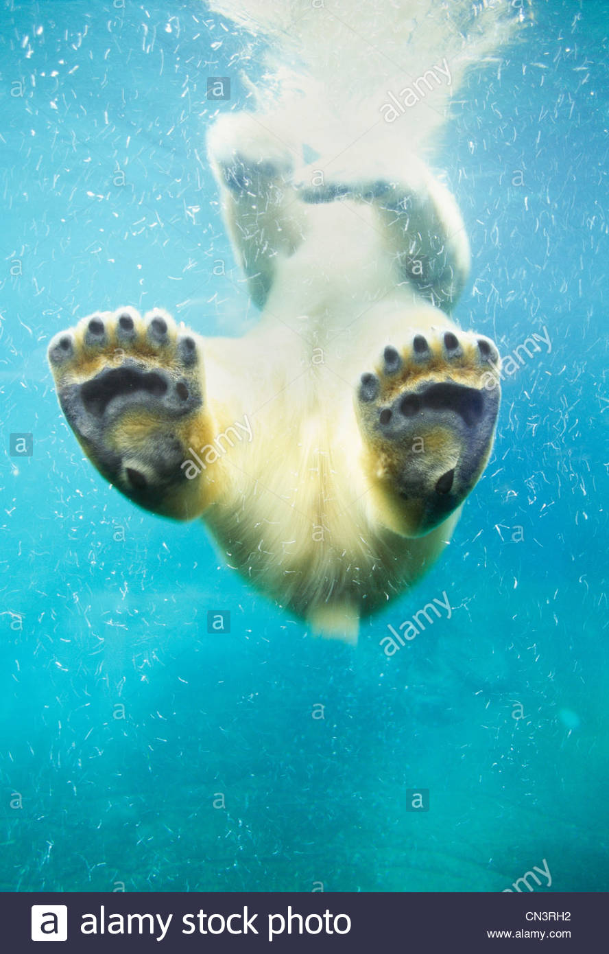 Swimming polar bear, North America - Stock Image