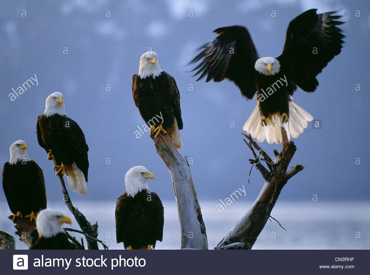 Bald eagles congregate on the beach along Homer Spit, Alaska. - Stock Image
