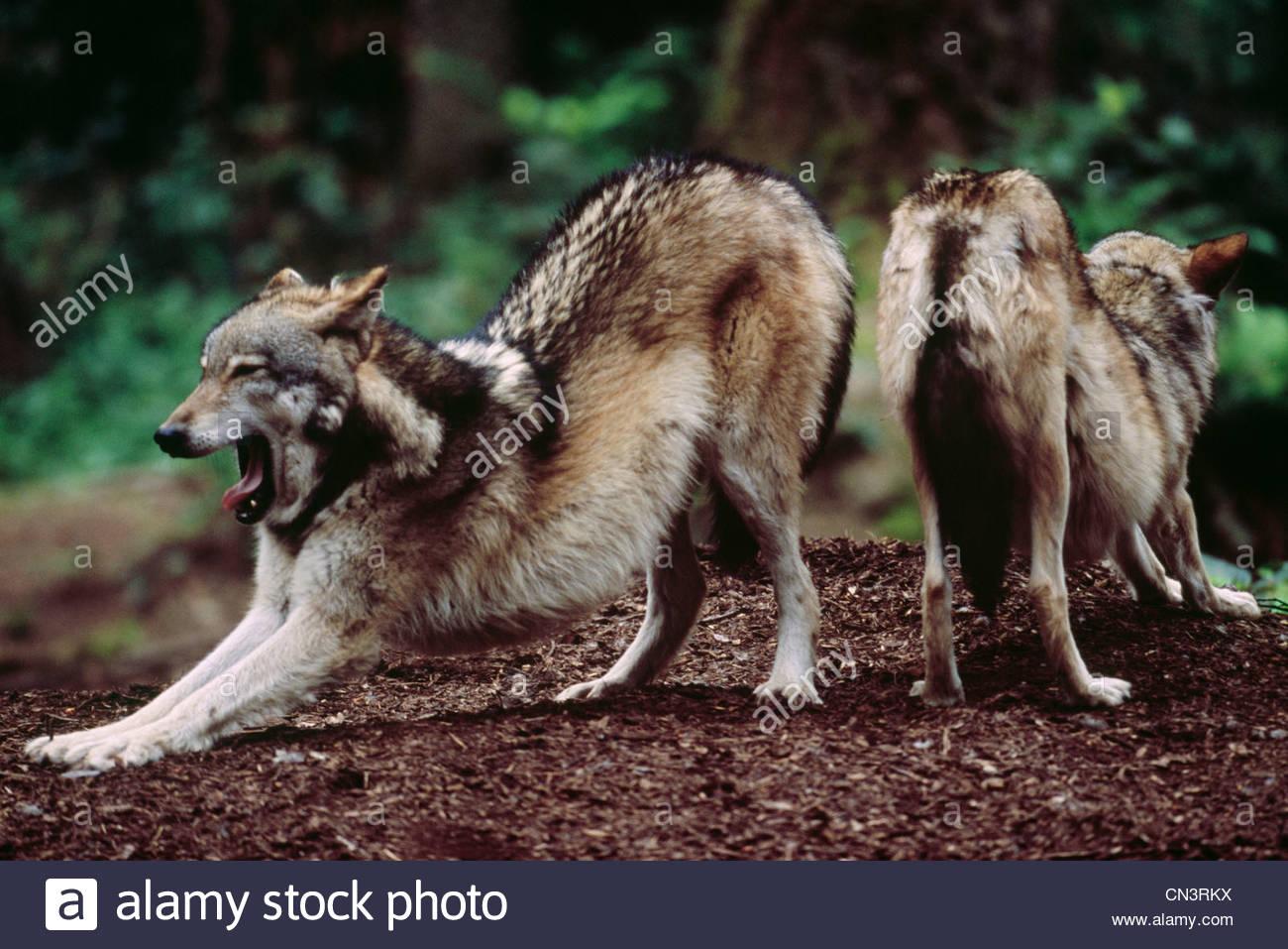 Grey wolves, Vancouver Island, British Columbia, Canada - Stock Image