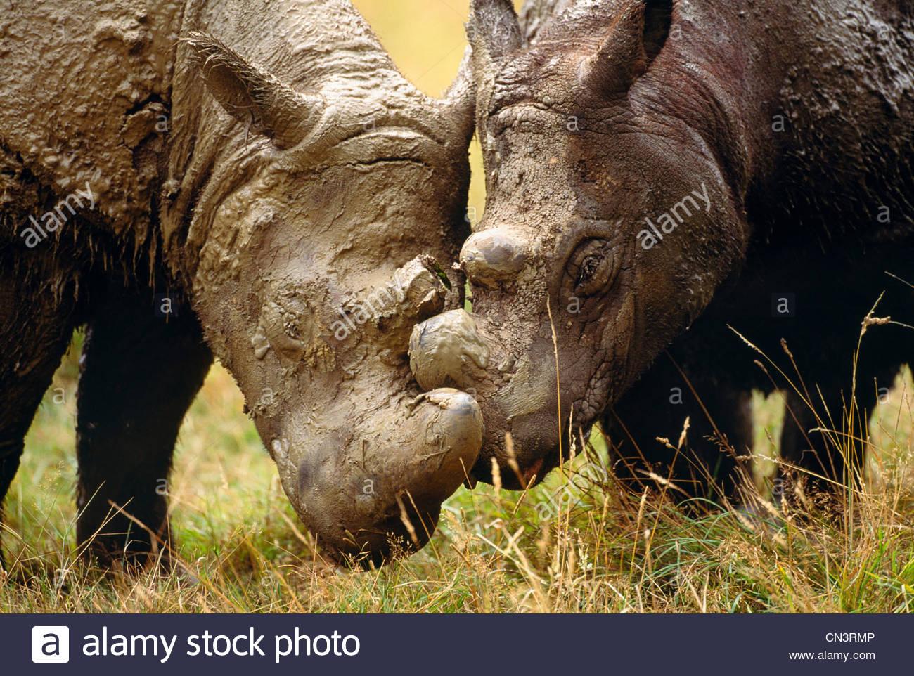 Sumatran rhinoceros, endemic to the rainforests of Indonesia - Stock Image
