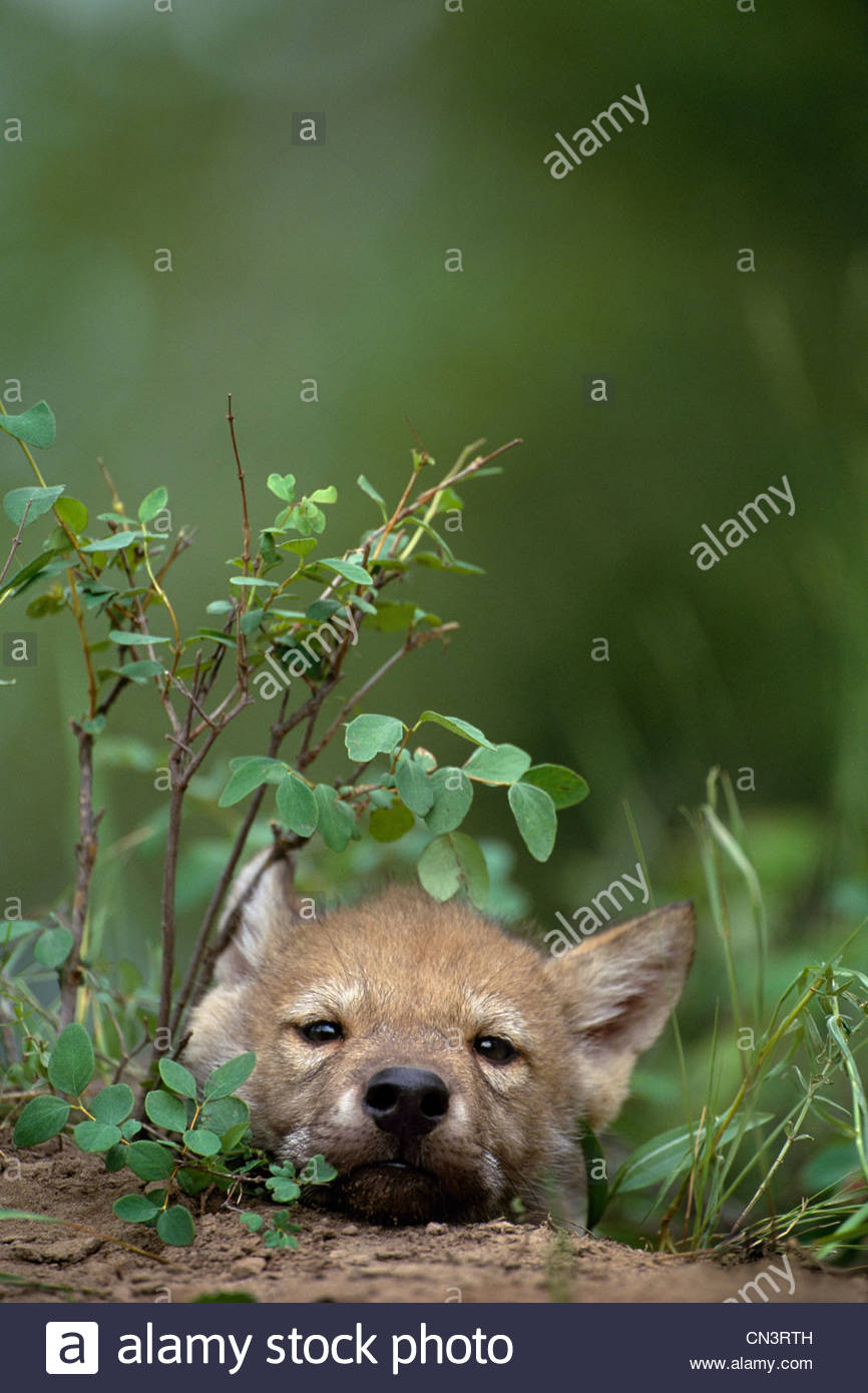 Wolf pup, Montana - Stock Image