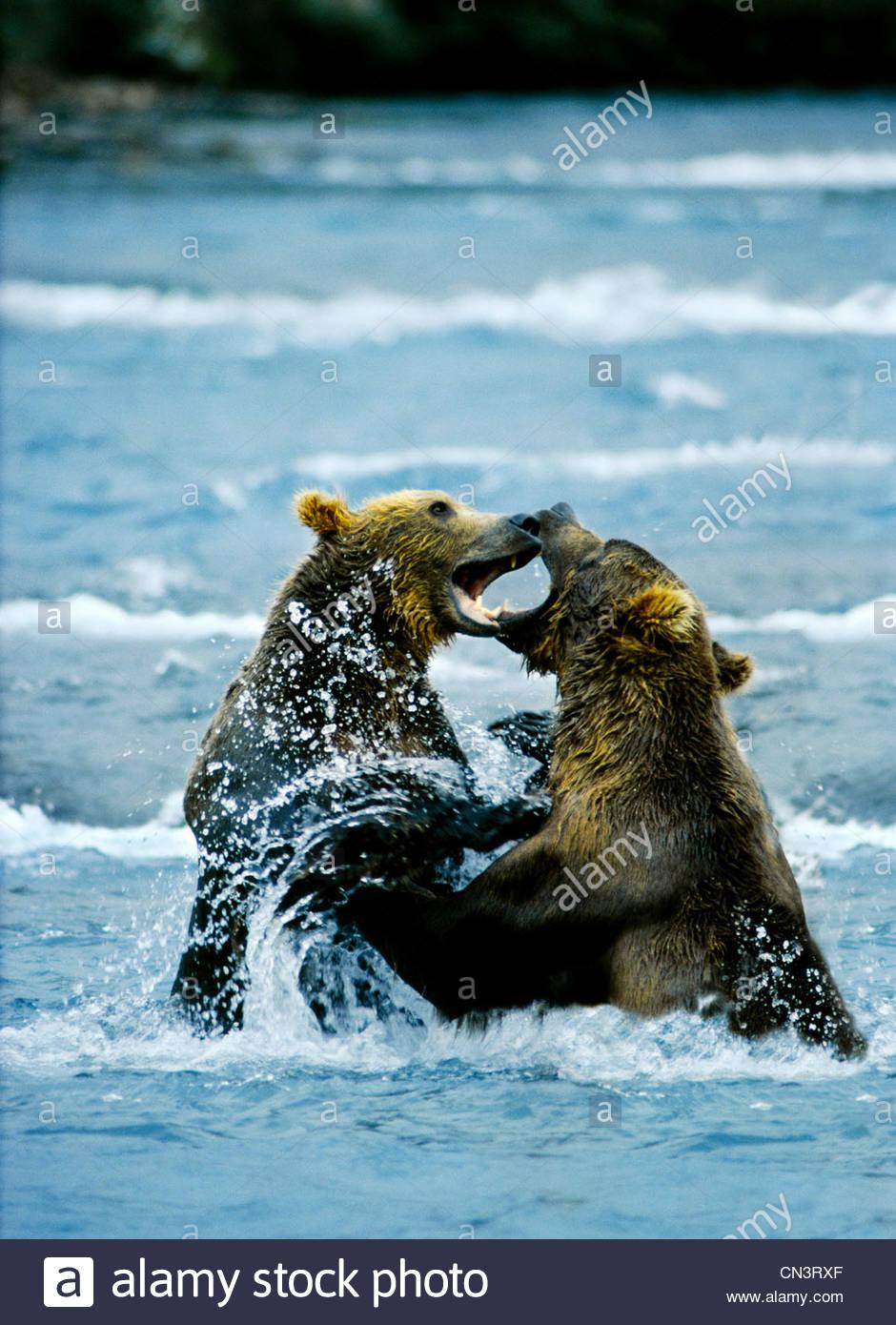 Two brown bears clash in the Brooks River, Katmai National Park, Alaska - Stock Image