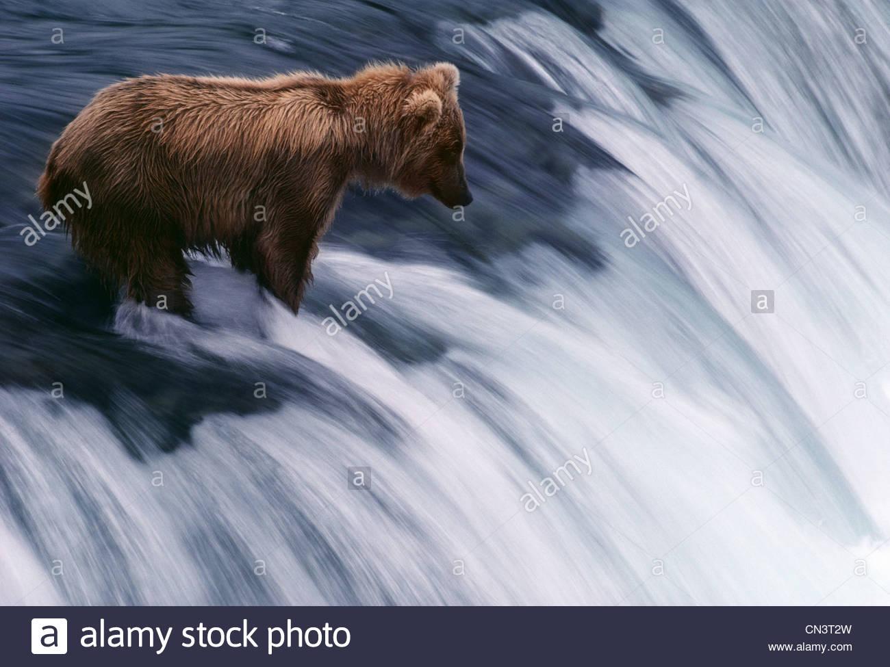 A bear hunts for salmon on Brooks Falls, Katmai National Park, Alaska - Stock Image