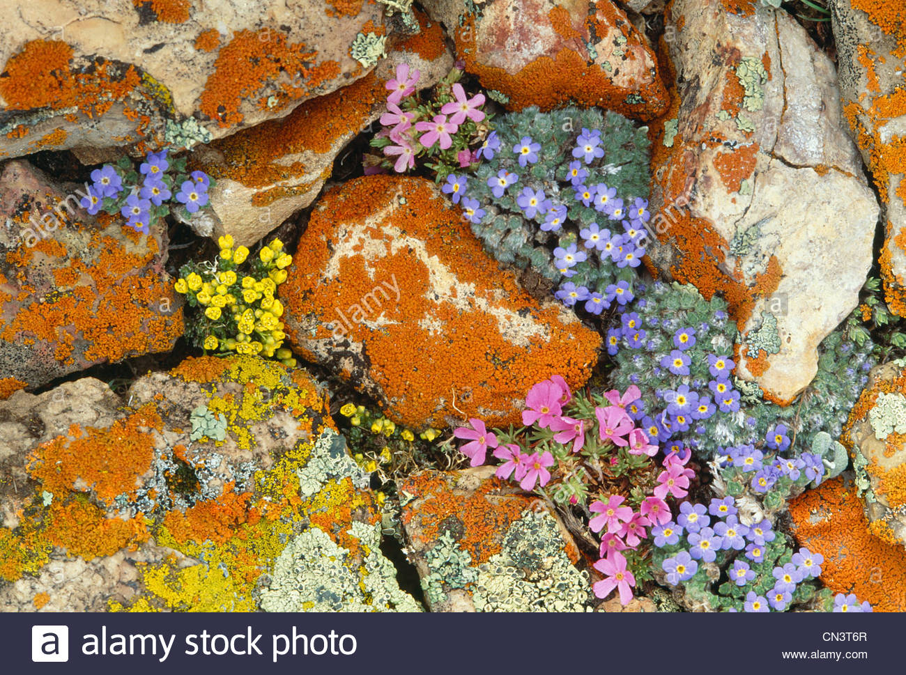 Alpine flowers, Yellowstone National Park, Wyoming - Stock Image