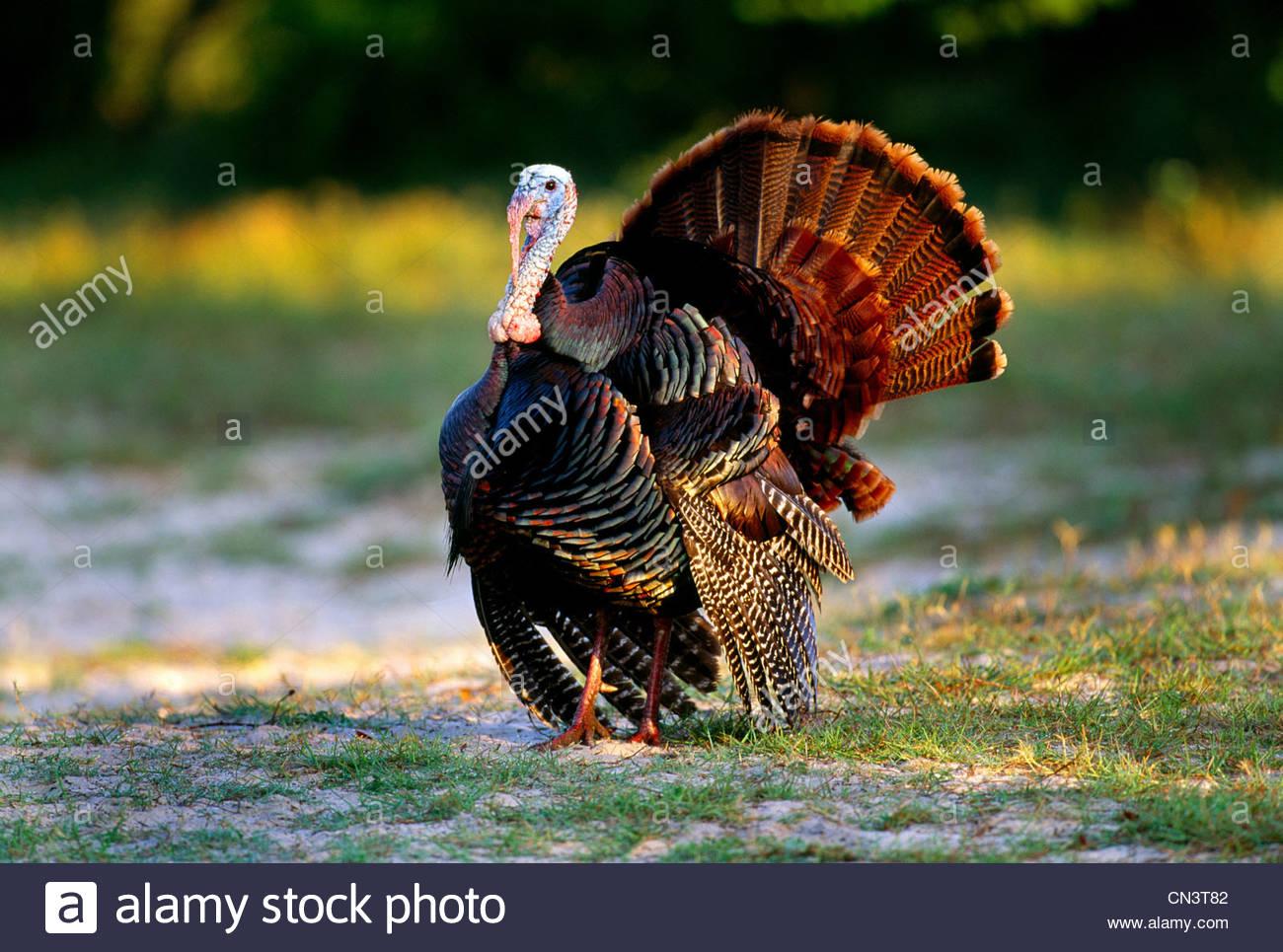 Wild turkey, Cumberland Island National Seashore, Georgia - Stock Image