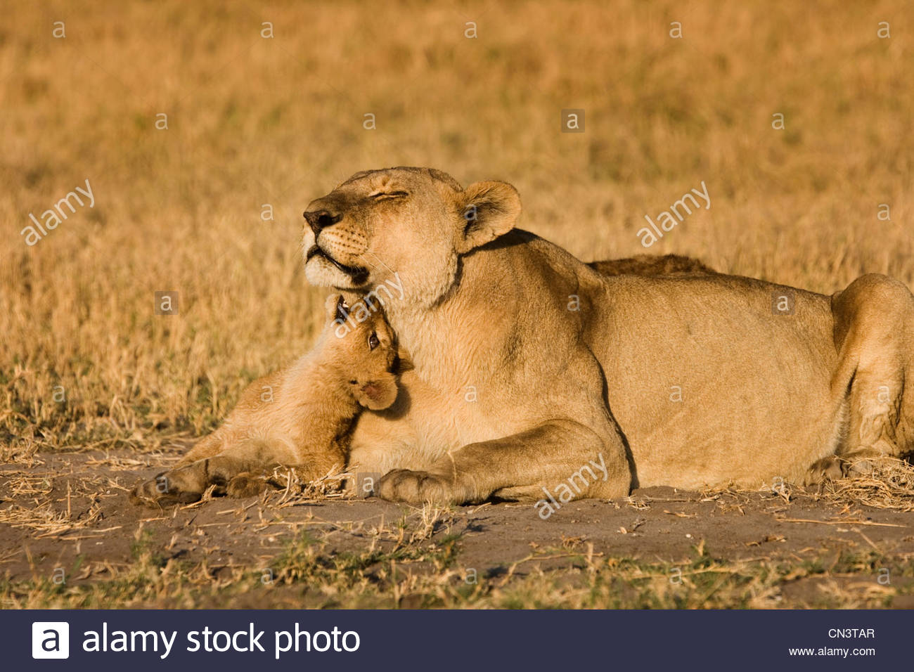 An African Lion cub plays with his mother as they rest in Botswana. - Stock Image