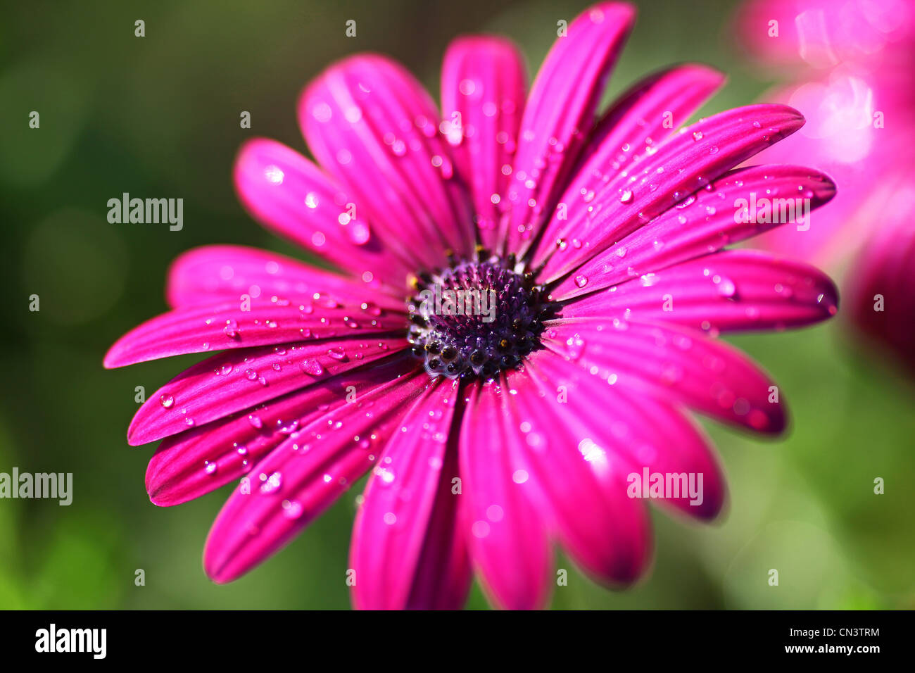South african daisy stock photos south african daisy stock images an osteospermum or african daisy south african daisy cape daisy blue eyed izmirmasajfo