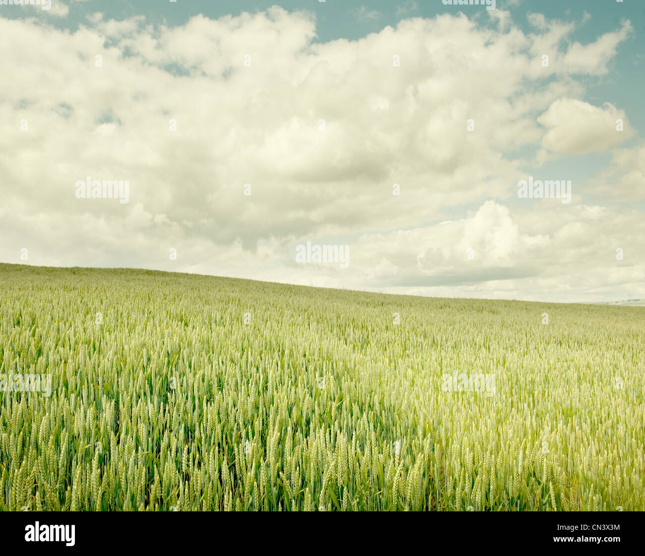A wheat field on a summer's day - Stock Image