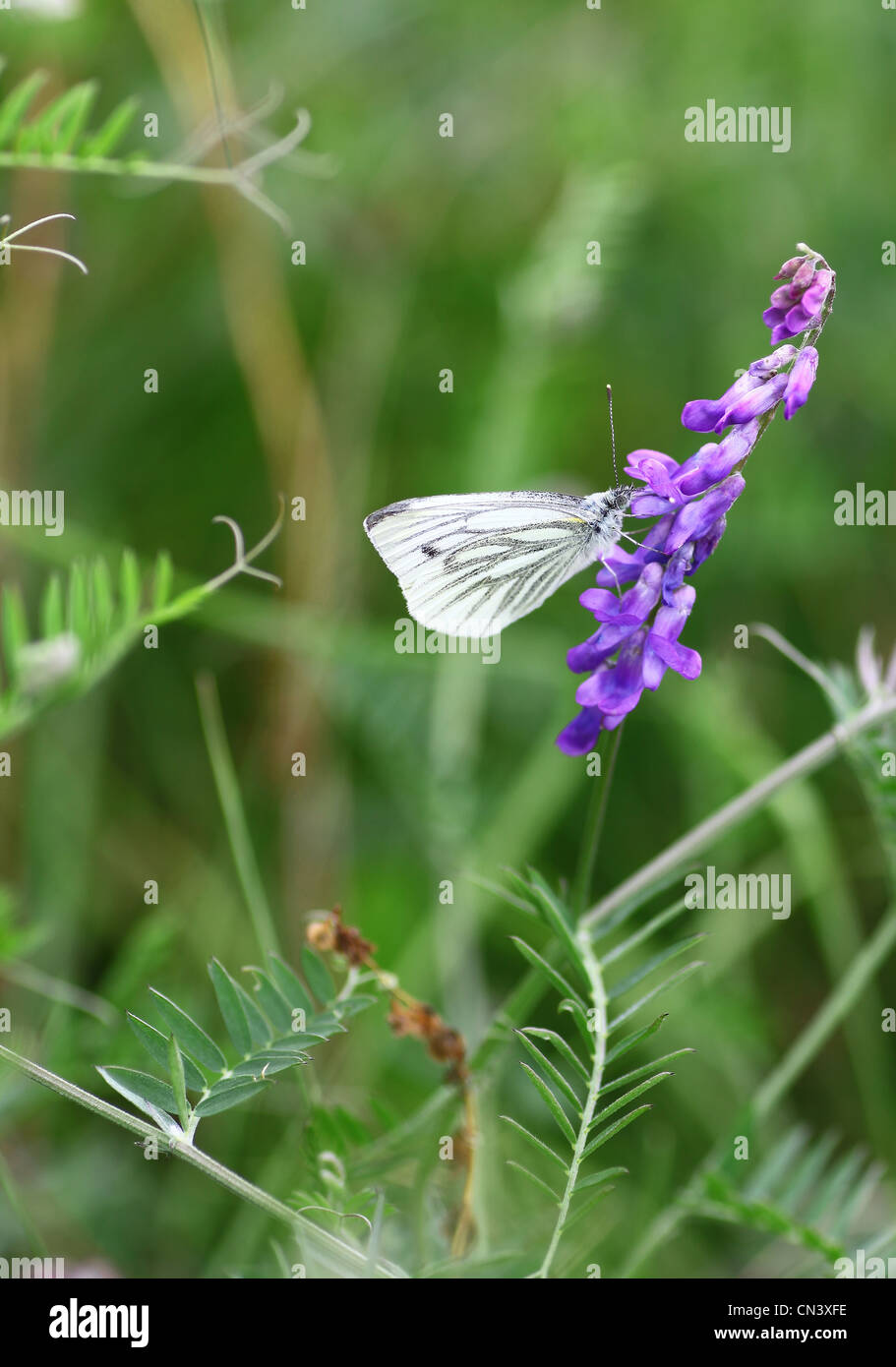 A close up of a Green Veined White (Pieris napi) butterfly on a Purple Vetch (Vicia) flower - Stock Image