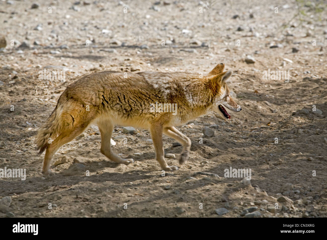A coyote, Canis latrans, searches the Mojave desert for food in southern California - Stock Image