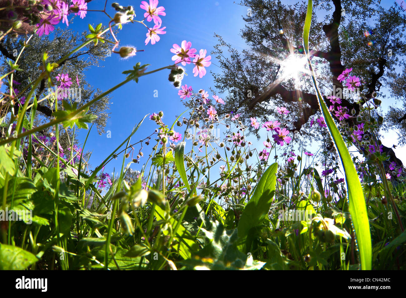 An ants eye view of spring wild flowers in the olive groves near an ants eye view of spring wild flowers in the olive groves near kardamyli in the outer mani messinia southern greece mightylinksfo