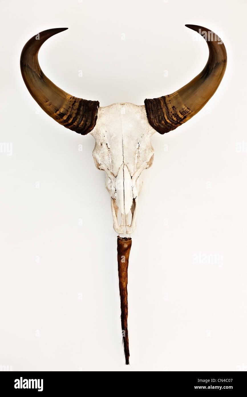 Trophy of buffalo skull, Ho Chi Minh City, Vietnam - Stock Image