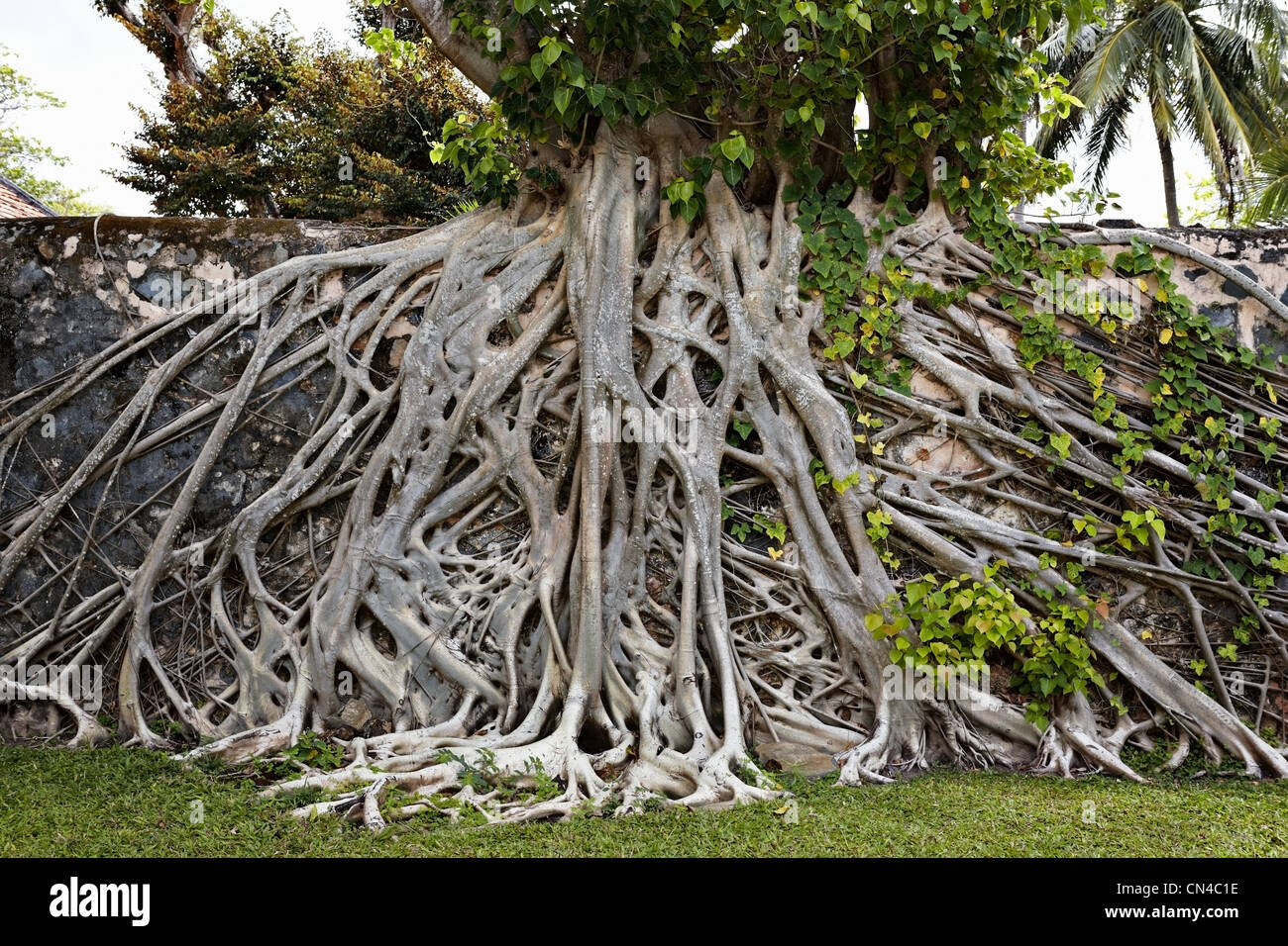 Strangler fig tree on wall in Con Son, Con Dao Island, Vietnam Stock Photo