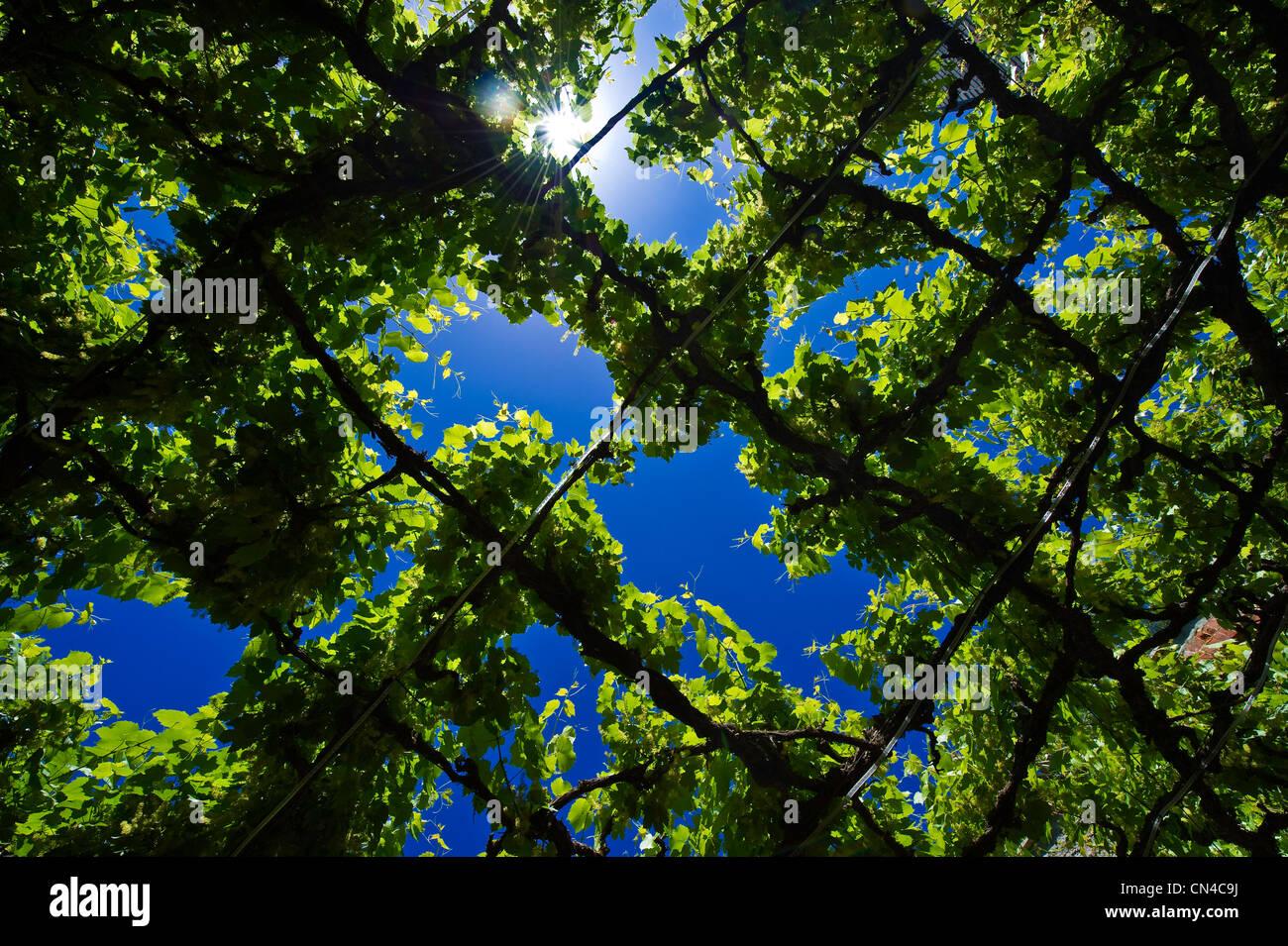 Australia, South Australia, Barrossa valley, vine leaves - Stock Image