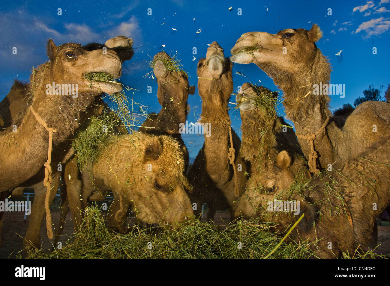 Australia, Northern Territory, Alice Springs, camel - Stock Image