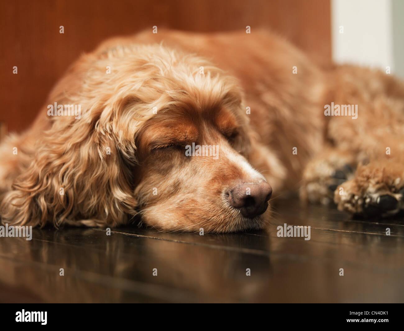 Pet dog lying on floor sleeping - Stock Image
