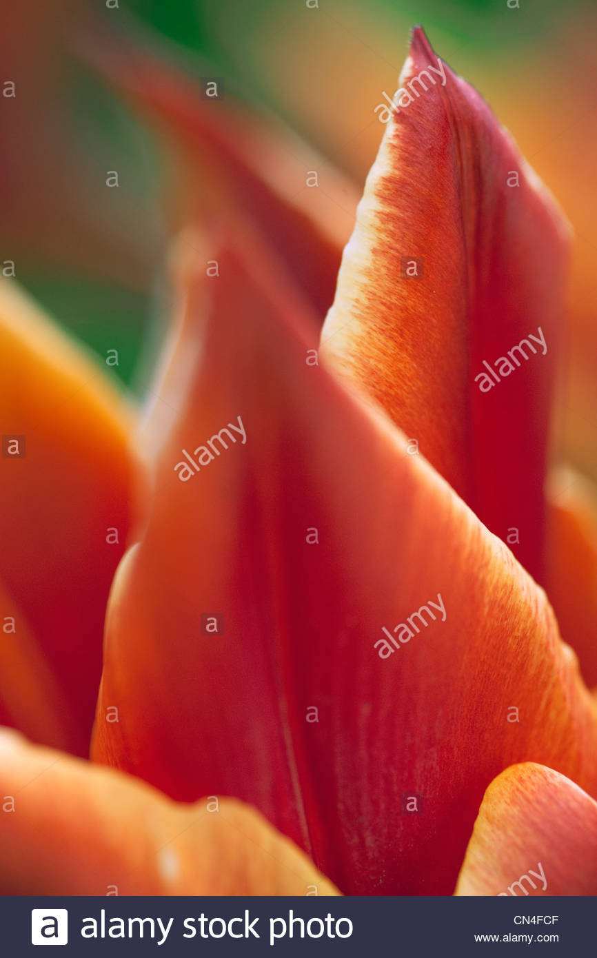 Tulipa 'Royal Design' - Stock Image