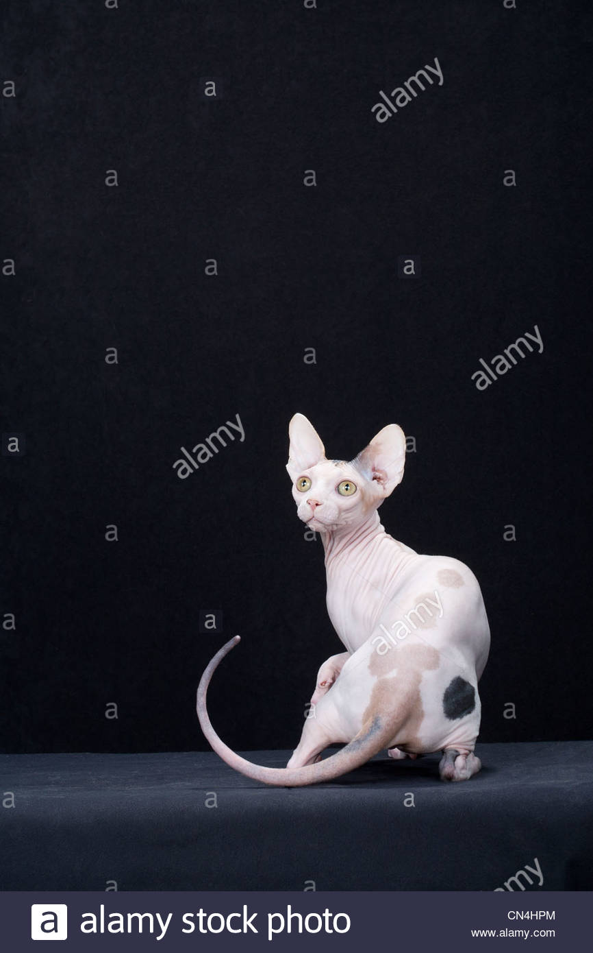 Hairless cat portrait - Stock Image