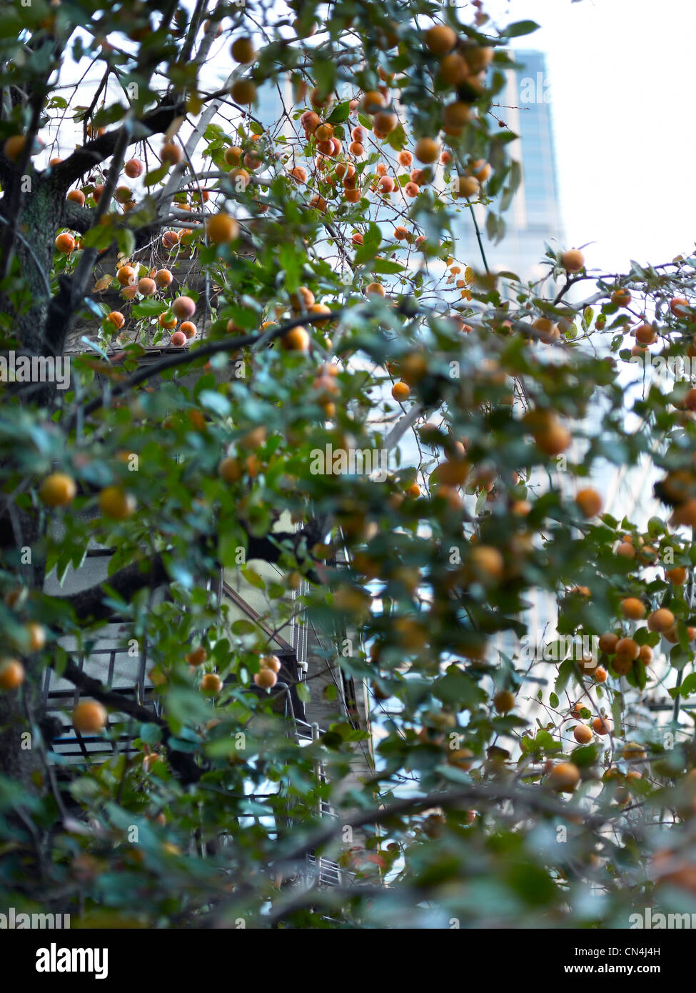 Japan, Tokyo, feature: the Palace of Tokyo, fruit tree - Stock Image