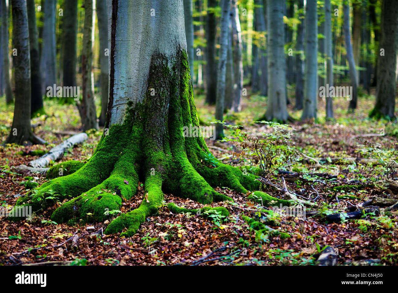 Moss on tree roots in forest - Stock Image