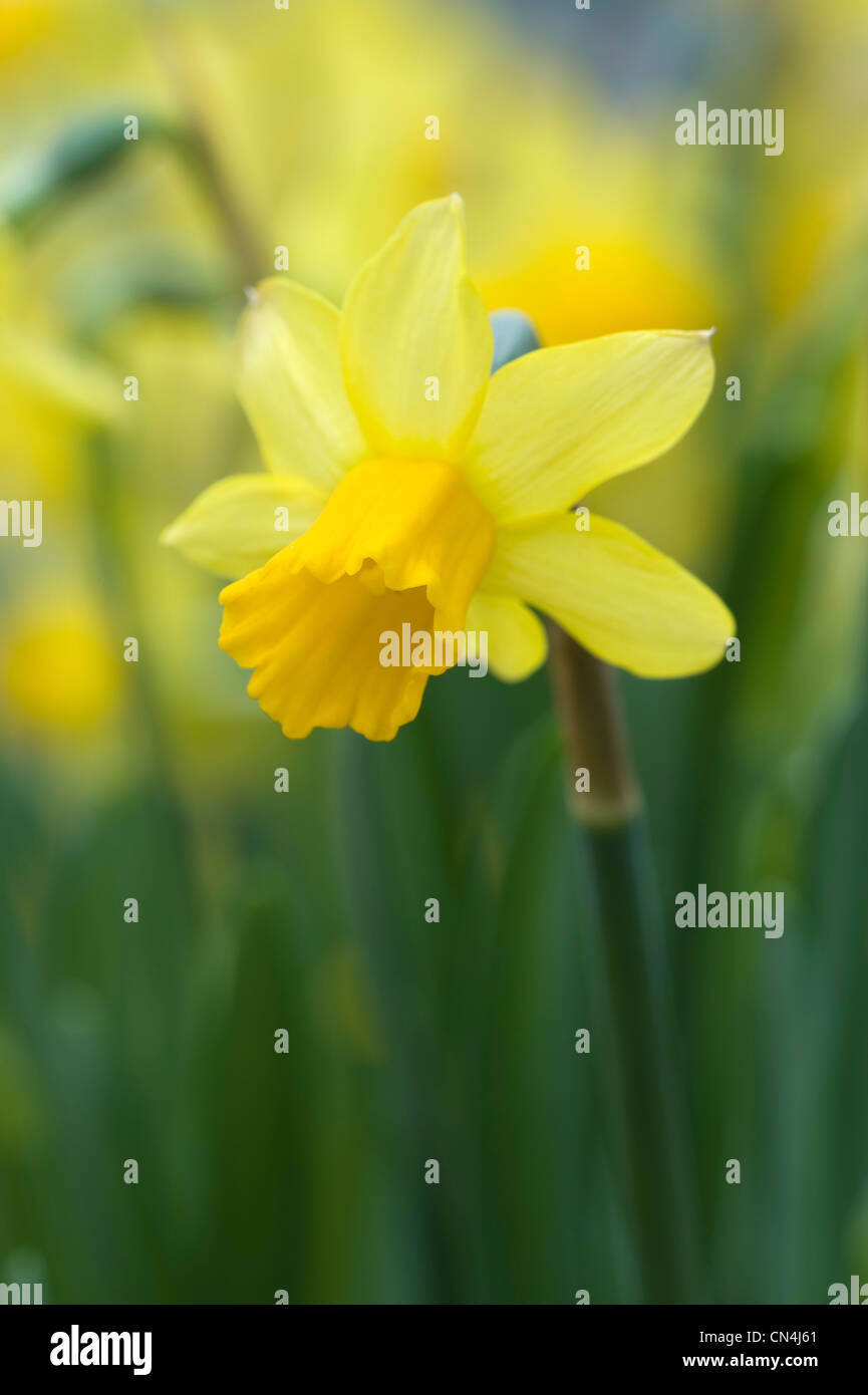 daffodils shallow depth of field springtime - Stock Image