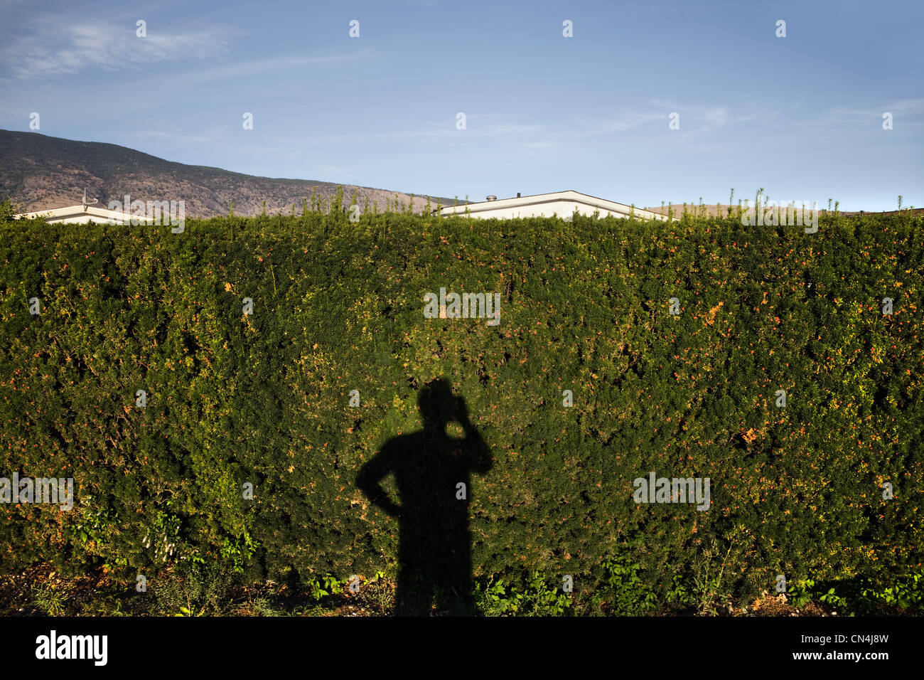 Shadow of man using cell phone on hedge - Stock Image