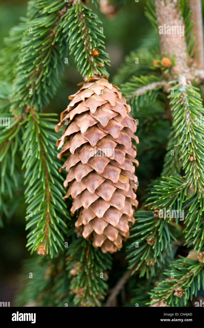 pine cone from picea abies frohburg - Stock Image