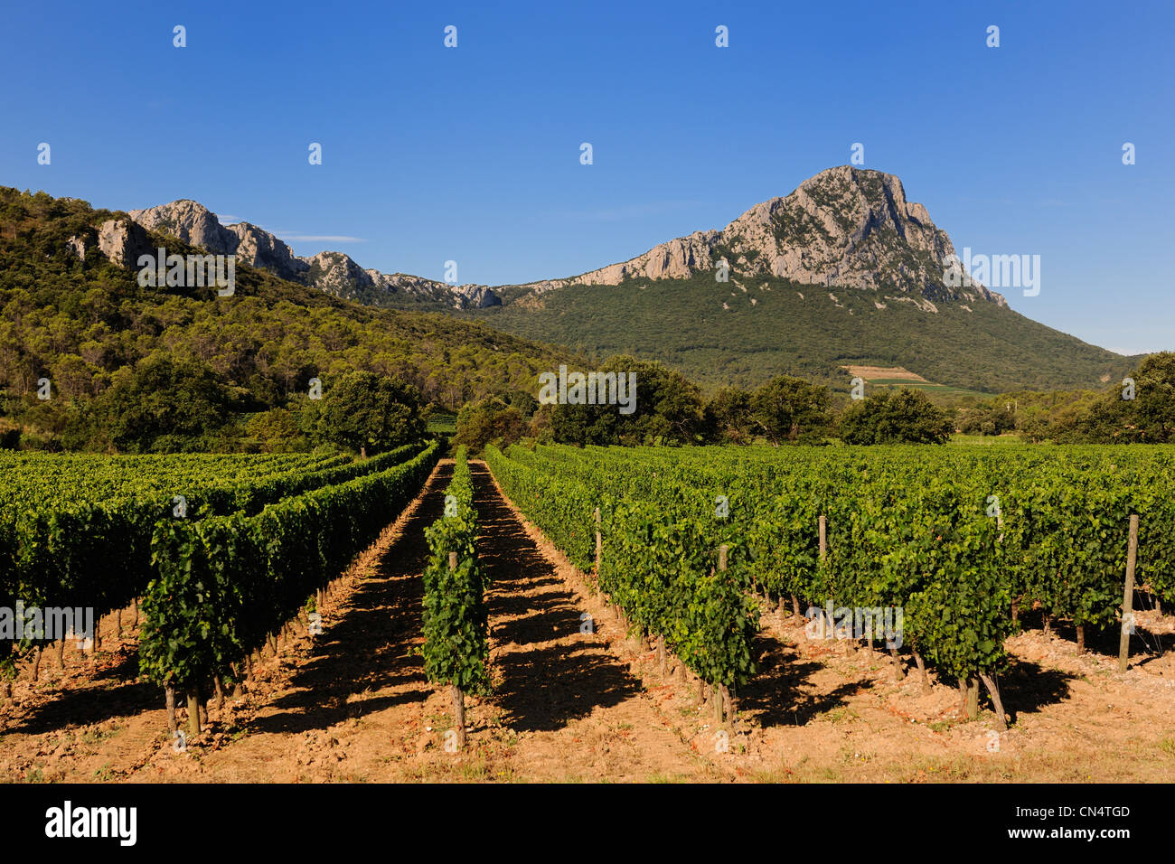 France, Herault, vineyards in front of the Pic St Loup - Stock Image