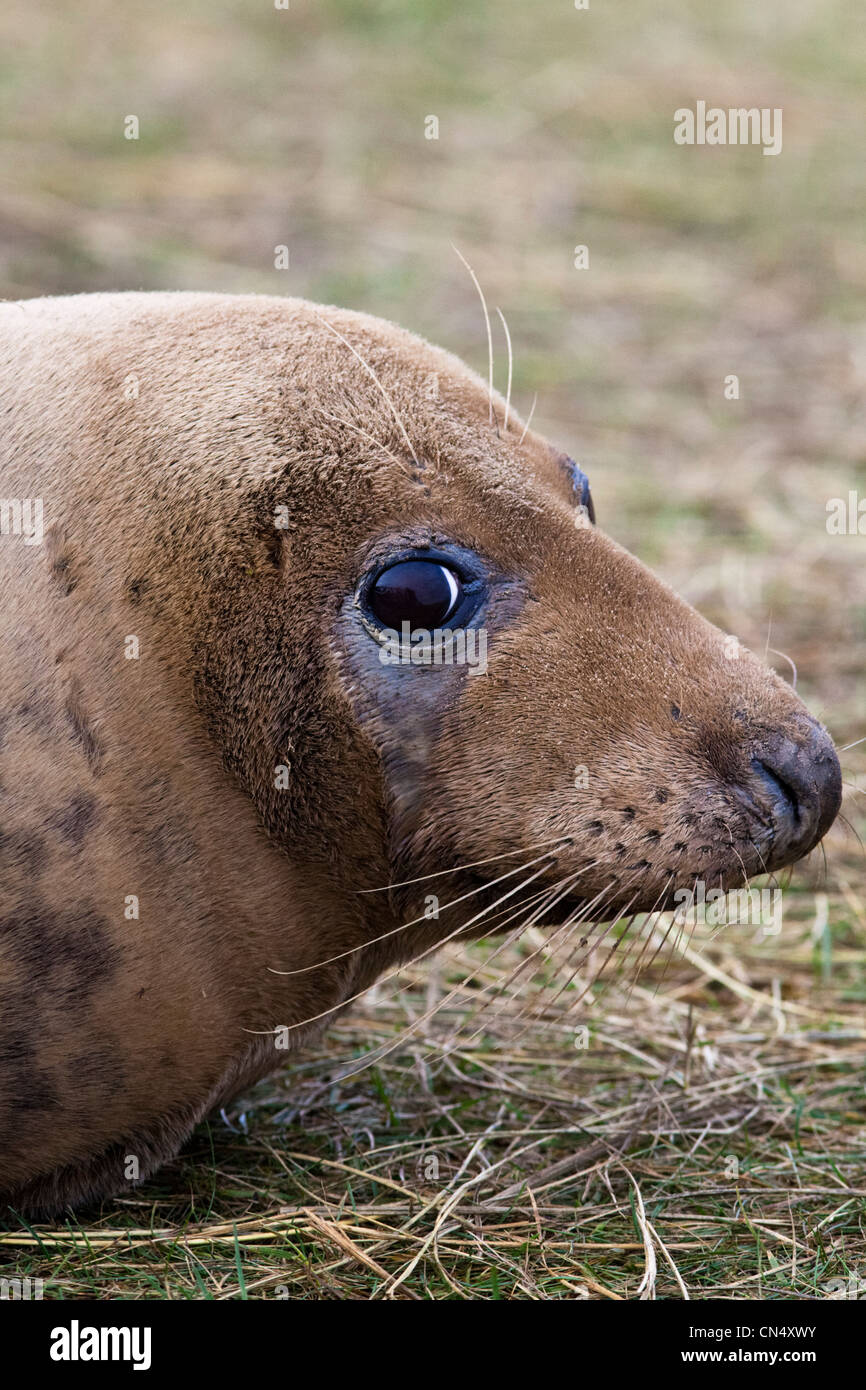 Grey Seal - Halichoerus grypus, Donna Nook, UK Stock Photo