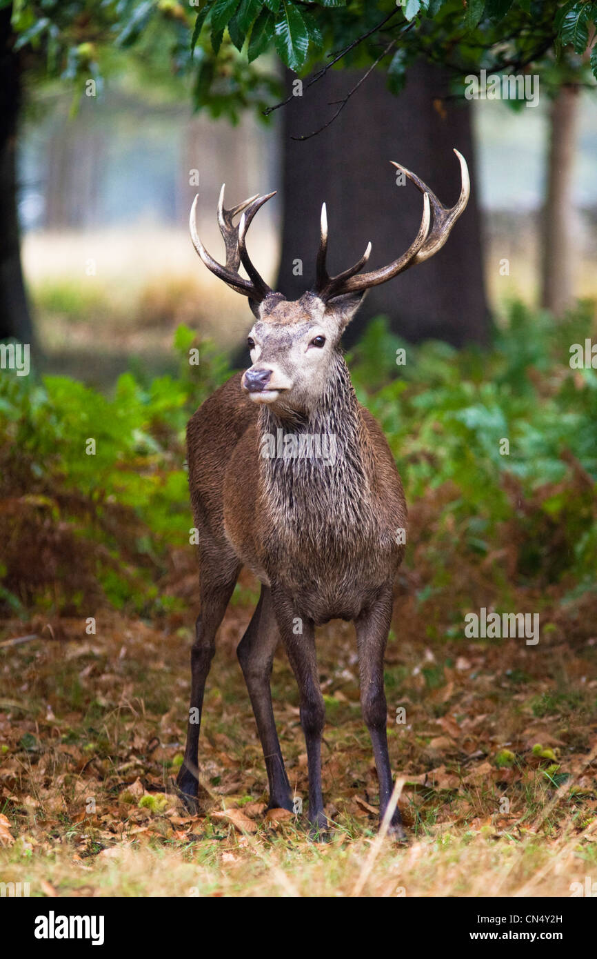 Red Deer in forest in Richmond Park, UK Stock Photo