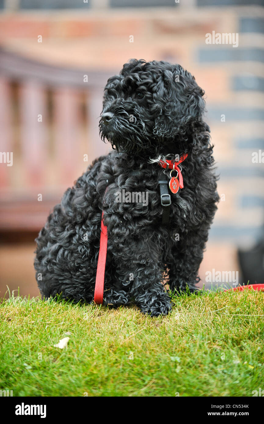 Cute black Cockapoo puppy sitting on grass in front of a bench at a dog training session with a red lead wrapped Stock Photo